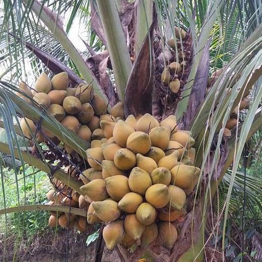 Mua sỉ dừa xiêm tại Hà Nội giá tốt nhất