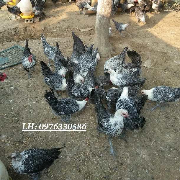Mua gà ác ở đâu hà nội giá tốt và chất lượng cao nhất?